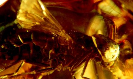 Odkrycie – Tabanidae Derecki