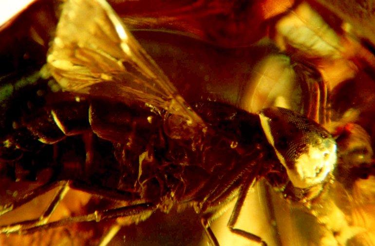 Muchówka z rodziny 'Tabanidae Derecki'
